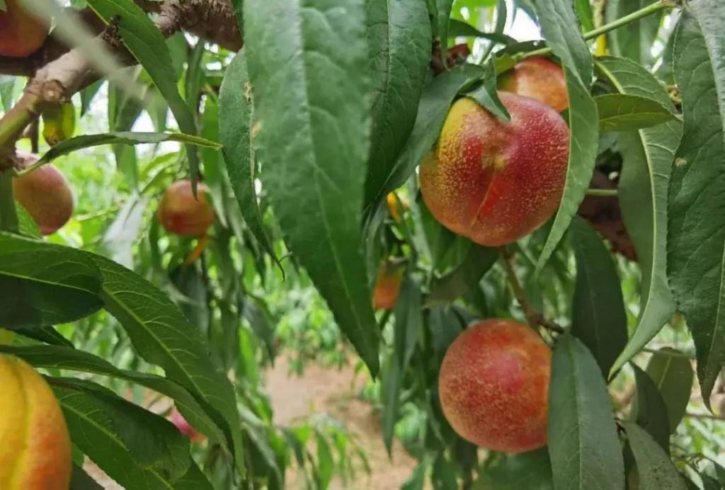 油桃有什么营养价值和食用功效